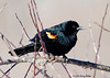 "<div class=""jaDesc""> <h4>Red-winged Blackbird in Frosty in Crabapple Tree - March 17, 2008</h4> <p>  About 16 male Red-winged Blackbirds are regulars in our backyard now.  They are going through an awful lot of sunflower seed.</p> </div>"