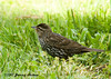 "<div class=""jaDesc""> <h4>Female Red-winged Blackbird Ground Feeding - June 23, 2007 </h4> <p> After the Red-winged Blackbird chicks are hatched, the female will leave the nest periodically to collect her own food. </p> </div>"