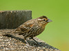 "<div class=""jaDesc""> <h4>Juvenile Red-winged Blackbird- July 27, 2009</h4> <p>  This juvenile Red-winged Blackbird looks like the female.  It may be a young male though given the hint of red on its wing.</p> </div>"