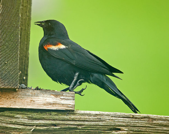 "<div class=""jaDesc""> <h4>Red-winged Blackbird - Deformed Claw - June 21, 2009</h4> <p>  This male Red-winged Blackbird has a deformed claw.  He leans on the left knee to assist with his balance.</p> </div>"