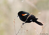 "<div class=""jaDesc""> <h4>Red-winged Blackbird in Snow Squall - March 9, 2008</h4> <p>  With all the Red-winged Blackbirds that have been in, none of them have given me a very good opportunity.  They are constantly in motion in large groups.  This is the best I have been able to get so far.</p> </div>"