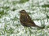 "<div class=""jaDesc""> <h4>Female Red-winged Blackbird - 1st of Year - April 4, 2009</h4> <p>  The female Red-winged Blackbirds picked a pretty nasty day last weekend to arrive.  It was snowing and blowing 30MPH.</p> </div>"