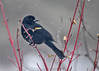 "<div class=""jaDesc""> <h4>Male Red-winged Blackbird in Red-twig Dogwood - March 11, 2017</h4> <p>This male was waiting his turn at the feeder table during a snow storm. </p></div>"