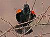 "<div class=""jaDesc""> <h4>Male Red-winged Blackbird Screeching - March 19, 2010</h4> <p>  Now that a few females have arrived, the male Red-winged Blackbirds are spending lots of time showing their stuff - screeching and flaring their wing bars.</p> </div>"