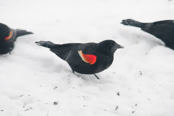 "<div class=""jaDesc""> <h4> Red-winged Blackbirds in Snow Storm - March 18, 2013 - Video Attached</h4> <p> Over 100 blackbirds in a mixed flock of Red-winged Blackbirds, Starlings, Grackles and Cowbirds arrived yesterday.  Today they were desperate to find food with wet snow blanketing all their foraging areas.  One of the Red-wings was the same leucistic bird from last April - see next photo.</p> </div> </br> <center> <a href=""http://www.youtube.com/watch?v=i2lzSNA6yGA"" class=""lightbox""><img src=""http://d577165.u292.s-gohost.net/images/stories/video_thumb.jpg"" alt=""""/></a> </center>"