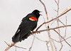 "<div class=""jaDesc""> <h4>Red-winged Blackbird Calling - March 23, 2011</h4> <p>  The male Red-winged Blackbirds are starting to anticipate the arrival of the females. The dominant males are already starting their loud calls to attract the first females into the area.</p> </div>"