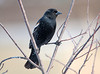 "<div class=""jaDesc""> <h4>1st Year Male Red-winged Blackbird - March 11, 2010</h4> <p>  Today 12 Red-winged Blackbirds arrived for the first time this year.  This one is a first year male.  His wing bar is not fully developed and he still has some white flecking in his black feathers.</p> </div>"