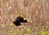 "<div class=""jaDesc""> <h4> Yellow-headed Blackbird Back View In-flight - May 1, 2012</h4> </div>"