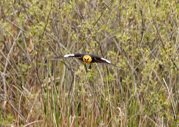 "<div class=""jaDesc""> <h4> Yellow-headed Blackbird Head-on In-Flight - May 1, 2012</h4> </div>"