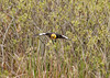"<div class=""jaDesc""> <h4> Yellow-headed Blackbird Head-on In-Flight - May 1, 2012</h4> </div>"