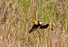"<div class=""jaDesc""> <h4> Yellow-headed Blackbird Flying - May 1, 2012</h4> <p> The Yellow-headed Blackbird is larger than a Red-winged Blackbird, but behaves similarly.  Their preferred habitat is pond and swampy areas.  Notice the white wing patches that show only when he is in flight.</p> </div>"
