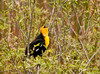 """<div class=""""jaDesc""""> <h4> Yellow-headed Blackbird Calling - May 1, 2012</h4> <p> The Yellow-headed Blackbird was repeatedly calling for a mate. His call sounds more like a duck than that of other blackbird species. Given that he is way east of his normal range, it is unlikely he will find a mate.</p> </div>"""
