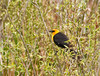 "<div class=""jaDesc""> <h4> Yellow-headed Blackbird Pops Up Out of Bush - May 1, 2012</h4> <p> This Yellow-headed Blackbird stayed low and out of site in the dense brush most of the time.  Periodically he would pop up into view to look around.</p> </div>"