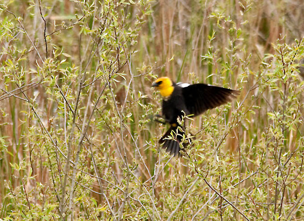 "<div class=""jaDesc""> <h4> Yellow-headed Blackbird Preparing to Land - May 1, 2012</h4> <p> The other birds in the swamp area would chase this single Yellow-headed Blackbird because he is considered an intruder - not native to this area.</p> </div>"