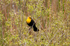 "<div class=""jaDesc""> <h4> Yellow Headed Blackbird in Swamp Thicket -  May 1, 2012</h4> <p> I responded to reports of a Yellow-headed Blackbird at the West Corners swamp.  Sure enough, he was right where reports had said he would be.  I had to hike in through rough terrain to get close enough for decent shots, but it was worth it.  He is way out of his normal range which is typically west of the Mississippi River.  Poor guy is not going to find a mate around here.</p> </div>"