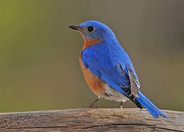 "<div class=""jaDesc""> <h4>Male Bluebird in Morning Sun - April 23, 2010 </h4> <p>The male Bluebird takes mealworms to his mate each morning.  She perches in a nearby tree waiting for him while fluttering her wings.</p> </div>"