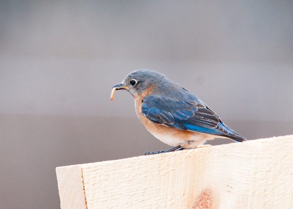 """<div class=""""jaDesc""""> <h4> Female Bluebird with Mealworm - April 9, 2013</h4> <p> I lured our new Bluebirds into our backyard with a portable feeder box mounted on an old garden rake handle.</p> </div>"""