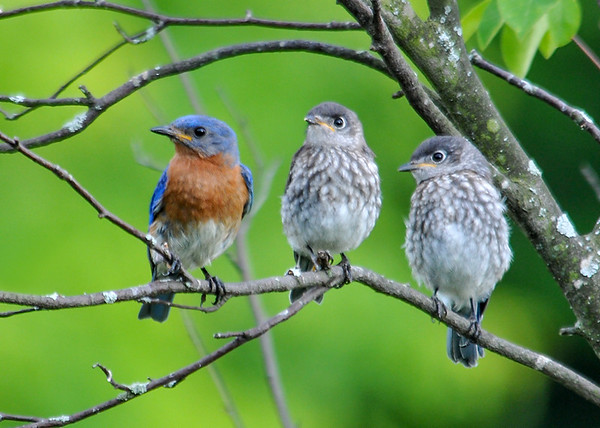 """<div class=""""jaDesc""""> <h4> Dad with Two Juvenile Bluebird - July 1, 2016</h4> <p>Two juvenile Bluebirds will often hang out together on a branch.  Dad had just fed these two.</p> </div>"""