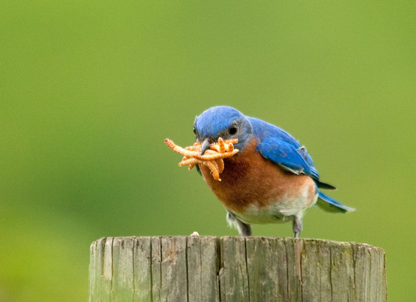 """<div class=""""jaDesc""""> <h4>Male Bluebird with Beak Full of Mealworms - May 22, 2011 </h4> <p> This dad Bluebird is taking his feeding responsibilities very seriously. This could be the world's record for most mealworms in one beak - I count eight!!.</p> </div>"""