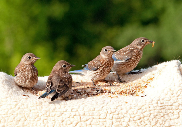 "<div class=""jaDesc""> <h4> Juvenile Bluebirds Dining On Their Own - June 30, 2011 </h4> <p> After dad Bluebird's coaching on how to eat mealworms, the juveniles would come in and dine by themselves. Once the adults thought they had eaten enough, they would fly in and chase the youngsters off so they could have the remaining mealworms to themselves.</p> </div>"