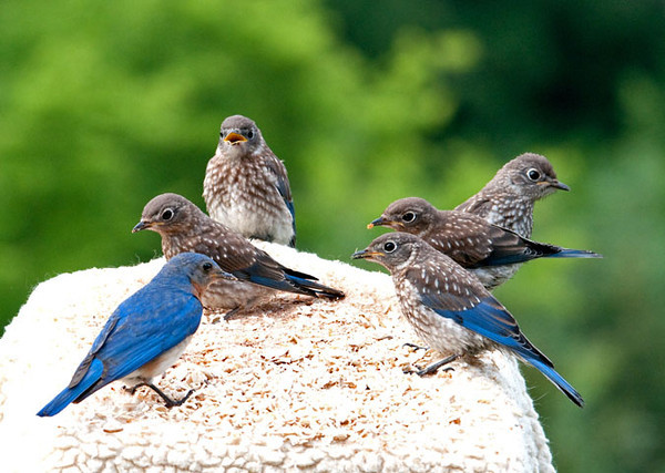 "<div class=""jaDesc""> <h4>Dad Bluebird Coaching His Youngsters - June 27, 2011 </h4> <p>""... now listen up! - Mom and I fed you guys for 18 days in the nest box. Now we have been feeding you for 14 days since you left the nest. That red-headed guy over there is nice enough to put these mealworms out here for us, so you are going to eat them on your own starting right now just like we have been showing you!"" And they did.</p> </div>"