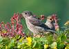 """<div class=""""jaDesc""""> <h4> Juvenile Bluebird Looking for Own Mealworm - June 25, 2013</h4> <p>While this juvenile Bluebird is actively looking for his own mealworm, the one in the background is still begging for mom to feed him.</p> </div>"""
