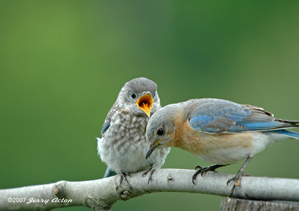 """<div class=""""jaDesc""""> <h4>Mom Bluebird Feeding Baby - June 2006 </h4> <p>Mom Bluebird had just stuffed 4 mealworms down this baby's throat.  One of them dropped on the ground.  She is looking for it while the baby is squawking for more.</p> </div>"""