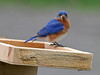 "<div class=""jaDesc""> <h4> Male Bluebird with Mealworm - May 23, 2014 - Video Attached</h4> <p> Mom Bluebird was sitting on eggs in the nearby nest box while dad sampled a few mealworms.  Each year I build a portable feeder tray that I can gradually move up next to our back porch.  That makes for nice viewing when the baby Bluebirds are getting fed. </p>  </div> <center> <a href=""http://www.youtube.com/watch?v=O1z6eMgwTLo""  style=""color: #0AC216"" class=""lightbox""><strong> Play Video</strong></a>"