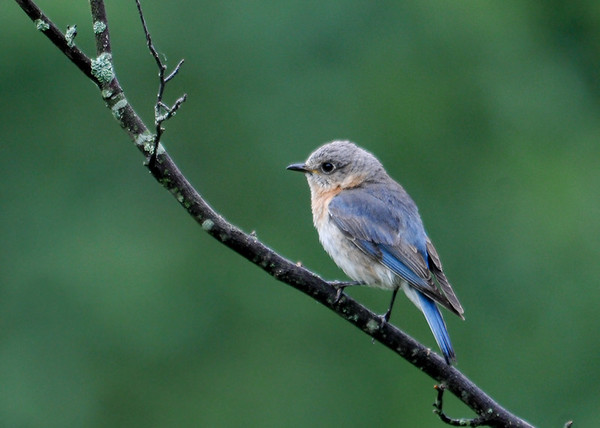 "<div class=""jaDesc""> <h4> Mom Bluebird Waiting Her Turn to Get Mealworms - June 16, 2016</h4> <p>Dad Bluebird was collecting mealworms while mom was waiting in this tree to go get some.  The 5 chicks are getting lots of protein to grow strong quickly.</p></div>"
