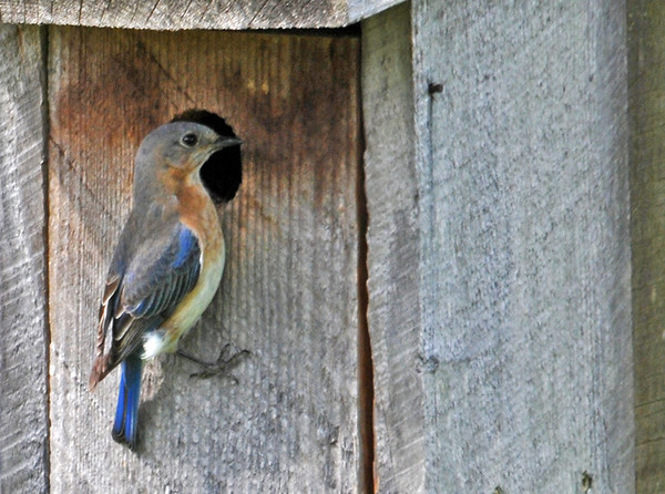 """<div class=""""jaDesc""""> <h4> Female Bluebird at Nest Box - May 21, 2014</h4> <p>There are eggs in the box, so we can look forward to baby Bluebirds soon.</p> </div>"""