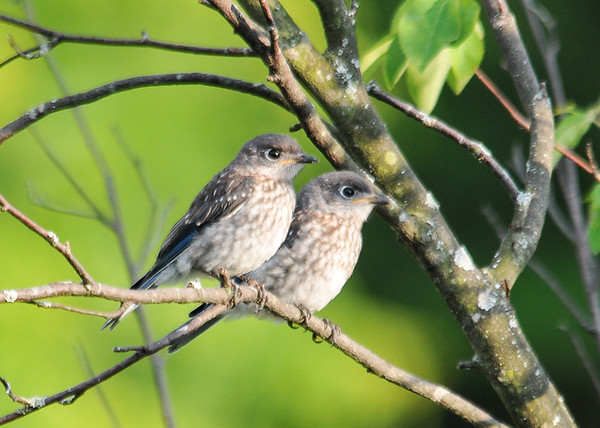"<div class=""jaDesc""> <h4>Two Young Bluebirds - July 1, 2016</h4><p>Having spent so much time piled into the nest, the youngster Bluebirds still like to perch next to each other once they are out of the nest.</p> </div>"