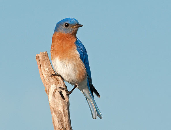 """<div class=""""jaDesc""""> <h4>Male Bluebird on Favorite Perch - May 20, 2010 </h4> <p>Our male Bluebird always stops on his favorite perch before dining on mealworms.  He is now making mealworm runs to feed the first brood of fledglings that stay in the woods in the densely leaved trees for safety until they are stronger fliers.</p> </div>"""