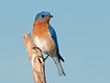 "<div class=""jaDesc""> <h4>Male Bluebird on Favorite Perch - May 20, 2010 </h4> <p>Our male Bluebird always stops on his favorite perch before dining on mealworms.  He is now making mealworm runs to feed the first brood of fledglings that stay in the woods in the densely leaved trees for safety until they are stronger fliers.</p> </div>"