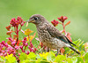 """<div class=""""jaDesc""""> <h4> Juvenile Bluebird Gets Own Mealworm - June 29, 2013</h4> <p>This juvenile Bluebird was the first to grab his very own mealworm.  He wasn't quite sure what to do with it, and the other two juveniles were staring in amazement. </p> </div>"""