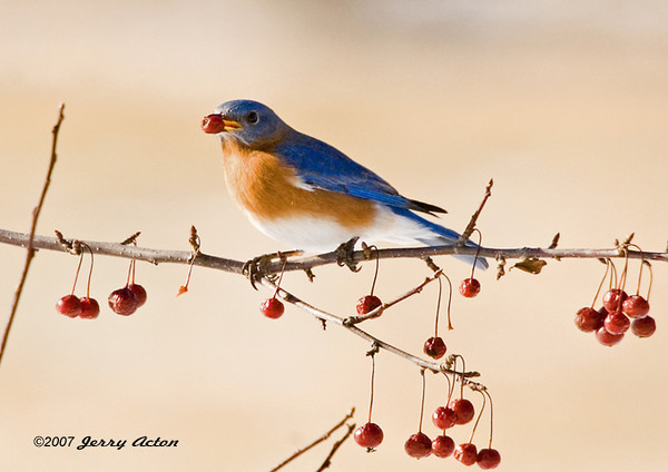 """<div class=""""jaDesc""""> <h4>Male Bluebird with Crabapple - September 6, 2007 </h4> <p>In late fall, the Bluebirds begin changing their diet from bugs to berries.  The last of the crabapples on our tree were gone within a week as 3 Bluebirds along with the Blue Jays devoured them.</p> </div>"""