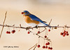 "<div class=""jaDesc""> <h4>Male Bluebird with Crabapple - September 6, 2007 </h4> <p>In late fall, the Bluebirds begin changing their diet from bugs to berries.  The last of the crabapples on our tree were gone within a week as 3 Bluebirds along with the Blue Jays devoured them.</p> </div>"