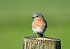 """<div class=""""jaDesc""""> <h4>Female Bluebird Ready for Mealworm Breakfast - May 19, 2020</h4> <p></p> </div>"""
