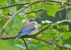 "<div class=""jaDesc""> <h4> Baby Male Bluebird in Hawthorn Apple Tree - July 8, 2015</h4> <p>Third baby Bluebird waiting to be fed. </p> </div>"