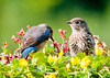 """<div class=""""jaDesc""""> <h4> Baby Bluebird Patiently Waiting - June 22, 2013</h4> <p>Mom Bluebird was looking for the mealworms I put out as this little guy waited patiently.  He was the first of the 3 babies to actually land on the feeder.</p> </div>"""