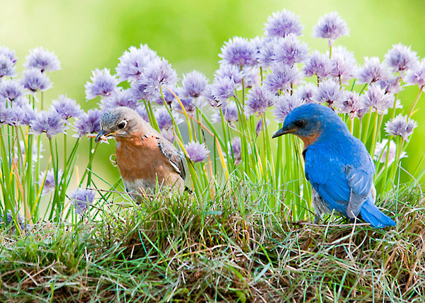 """<div class=""""jaDesc""""> <h4> Mom & Dad Bluebird Collecting Mealworms - June 11, 2013</h4> <p>I spread some mealworms in the grass.  Mom and Dad Bluebird come when I whistle.  They chatter to me and watch where I put them.  This is a daily routine at breakfast and dinner time.  They have me trained.</p> </div>"""