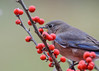 "<div class=""jaDesc""> <h4> Female Bluebird Grabs Winterberry - November 22, 2017</h4> <p>Normally the birds do not eat the winterberries this time of year, but wait till spring.  However, this gal grabbed one and flew off to a pasture fence wire to eat it.</p> </div>"