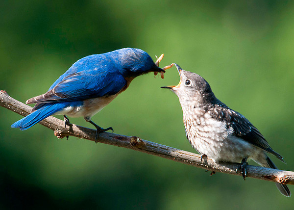 "<div class=""jaDesc""> <h4> Dad Feeding Baby Bluebird - June 21, 2013</h4> <p>It is so fun to watch those mealworms get tossed into hungry little beaks. I put out about 50 melaworms morning and evening.  they disappear in just a few minutes.</p> </div>"