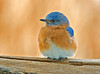 "<div class=""jaDesc""> <h4>Male Bluebird Resting - February 2007 </h4> <p>I can photograph the same Bluebird 10 times and get 10 different expressions.  This guy was looking nicely mellow as he took a break from eating mealworms.</p> </div>"