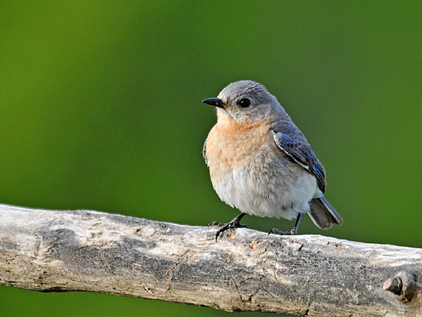 "<div class=""jaDesc""> <h4>Female Bluebird at Mealworm Feeder Perch - May 17, 2010 </h4> <p>Mrs. Bluebird always stops on an approach branch before proceeding to the mealworm feeder box.</p> </div>"