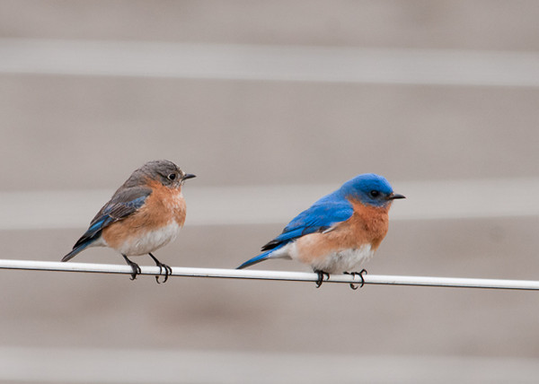 """<div class=""""jaDesc""""> <h4> Bluebird Pair Hanging Out Together - April 9, 2013</h4> <p>Our new Bluebird pair has selected their nest box.  Happily it is right in our backyard where we can watch them build the nest and raise their youngsters from our back porch.</p> </div>"""