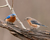 "<div class=""jaDesc""> <h4>Bluebird Pair Dining Together - May 19, 2011 </h4> <p>The Bluebird pair has settled into a predictable morning breakfast routine. They greet me with their musical calls from their favorite serviceberry tree as I put out mealworms. As soon as I go back in the house, they fly to the feeder area and gobble down the mealworms.</p> </div>"