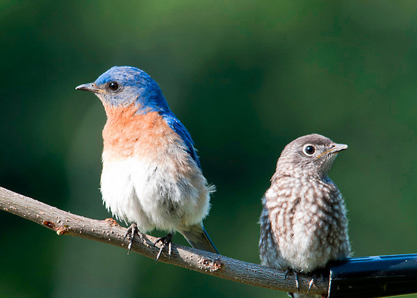 "<div class=""jaDesc""> <h4> Dad and Baby Bluebird Hanging Out Together - June 21, 2013</h4> <p>After a satisfying meal, dad and baby enjoy hanging out together.  The babies are starting to get more independent, venturing out on their own a bit. </p> </div>"