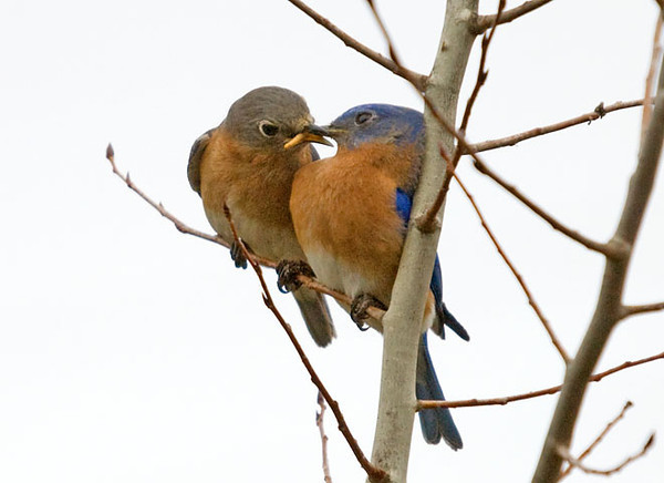 "<div class=""jaDesc""> <h4> Bluebird Affection - March 19, 2009 - Video Attached </h4> <p> Even though the female has already laid eggs and is sitting on them, the Bluebirds still behave like a courting couple. When she flutters her wings in his presence, he feeds her a mealworm.   </p> </div> </br> <center> <a href=""http://www.youtube.com/watch?v=9Fe6TfpQ0lo"" class=""lightbox""><img src=""http://d577165.u292.s-gohost.net/images/stories/video_thumb.jpg"" alt=""""/></a> </center>"