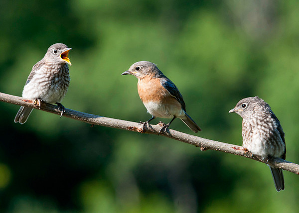 "<div class=""jaDesc""> <h4> Mom Bluebird with Her Babies - June 21, 2013</h4> <p>These two youngsters Bluebirds were hanging out with mom hoping to get fed. </p> </div>"