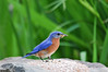 "<div class=""jaDesc""> <h4> Male Bluebird Collecting Mealworms - June 3, 2016</h4> <p>I spread the mealworms on this rock because the male Bluebird flew over to it and hovered above it twice.  It is the same rock I put mealworms on last year, so it must be the same Bluebird back again this year and he remembered.  How cool is that!</p> </div>"